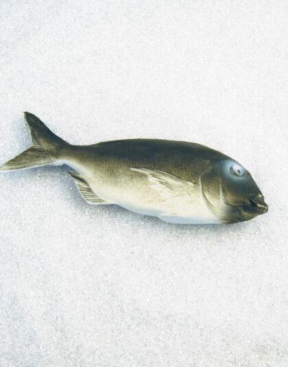 Grå Dentex Fisk